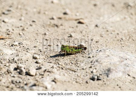 Grasshopper of the Acrididae family sits on a dirt road (Omocestus viridulus)