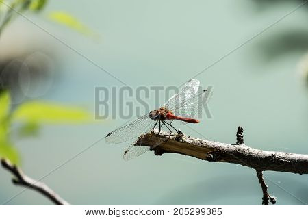 Male red dragonfly the ruddy darter sits on a branch (Sympetrum sanguineum)