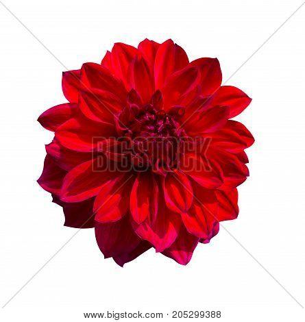 Red Dahlia flower . Beautiful Dahlia Flower