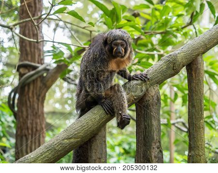 Female white-faced saki sits on branch close up