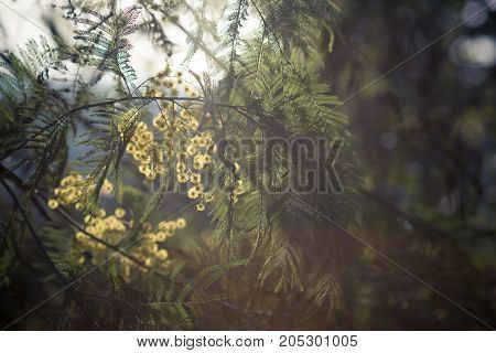 the flowers and leaves of acacia silver in the backlight in the spring in Abkhazia