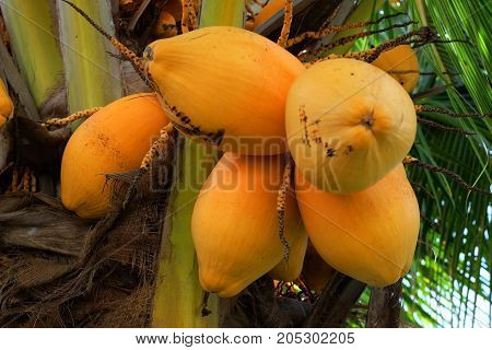 yellow coconut on coconut tree with coconut leaf or coconut background