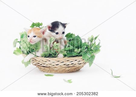 Two cute baby kittens posing in basket full of green leaves - studio shoot