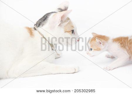 Mother cat with her baby kitten on the white background