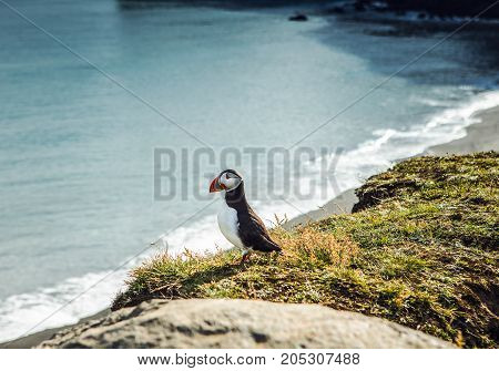 Fratercula arctica - sea birds from the order of Charadriiformes. Puffin on rocky coast of Iceland.