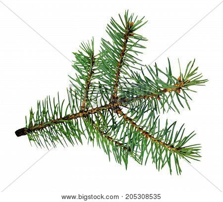 Branch of a Christmas tree isolated on a white background without a shadow. Close-up. Christmas natural decor.