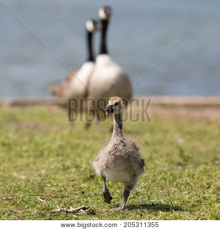 Canada goose (Branta canadensis) chick walking in front of parents