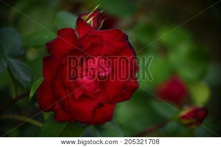 Red flower and rosebud in lush green foliage of young bush.