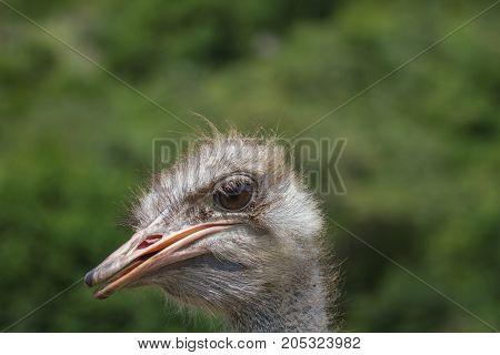 Ostrich Bird Head Portrait