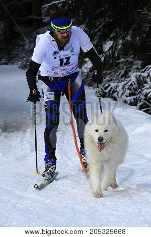 KRALIKY, SLOVAKIA - FEBRUARY 20, 2016: Musher skiing behind dog. Winter championship in Kraliky ski center, Slovakia. Extreme sport