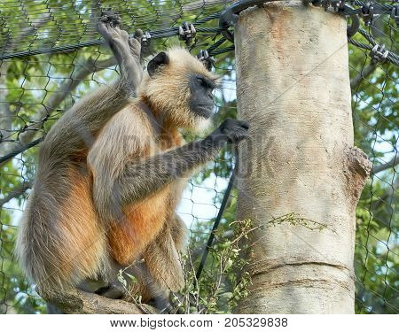 Northern Plains Gray Langur in the park