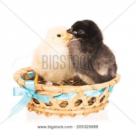 Cute newborn chickens in the wicker basket isolated over white background