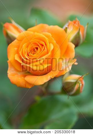 Fresh orange rose with leaves over green background