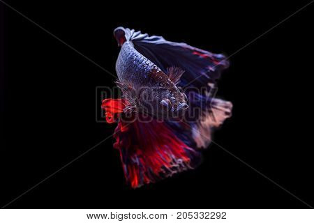 Capture the moving moment of black blue siamese fighting fish on black background. Dumbo betta fish