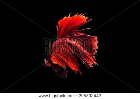 Red siamese fighting fish on black background.