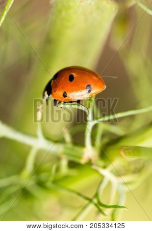 ladybird on a green plant in nature .