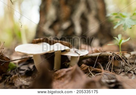 inedible mushroom in the woods in nature .