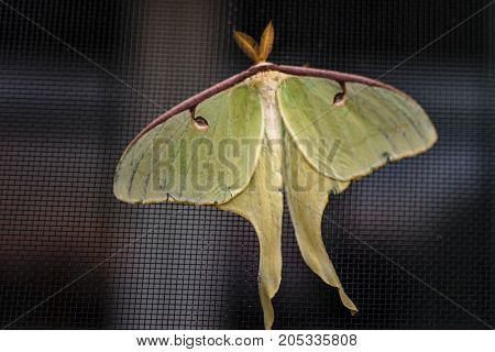 Yellow green Luna moth on window screen. Summer evening beauty showing it`s presents.