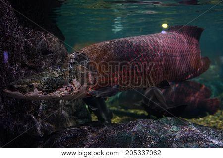 Giga Arapaima swimming slowly in the tank of the aquarium.