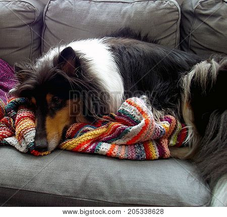 Tired tricolor collie on the grey sofa with colorful blanket..