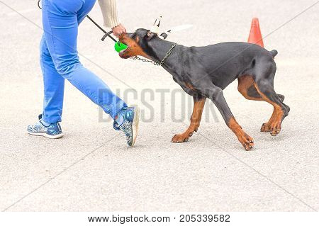 Doberman with his bandaged ears bites the ball in the hands of the owner. Background of green blurred grass. Space under the text. 2018 year of the dog in the eastern calendar. Concept: friend, protection, loyalty, vigilance, security
