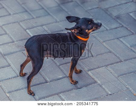 Close image of beautiful toyterrier. Funny toy terriers dog. Portrait of Russians toy terrier.