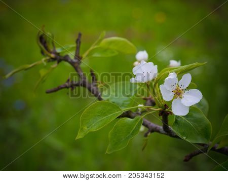 Flowers Of A Pear. Summer Background. Spring. Flowering Branch