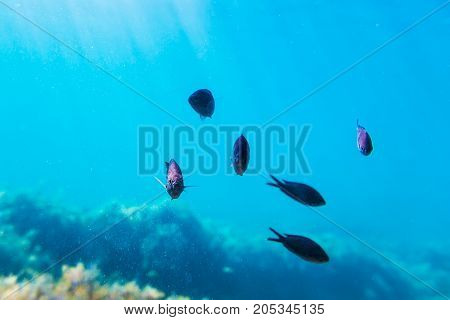 Black fishes in blue ocean. Underwater photo with sun rays