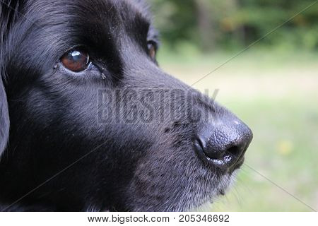 female labrador-retriever 8 years old sitting in the grass