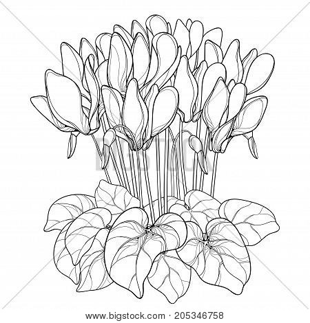 Vector bouquet with outline Cyclamen or Alpine violet flower, bud and leaf in black isolated on white background. Perennial Alpine mountain flower in contour style for spring design and coloring book.