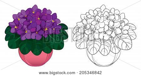 Vector bouquet with outline Saintpaulia or African violet flower in round pot. Purple flowers and foliage isolated on white background. Viola in contour style for floriculture design or coloring book.