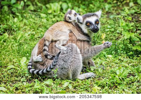 Ring-tailed lemur - Lemur catta - with cubs in the greenery. Animal scene. Animals playing. Beauty in nature.