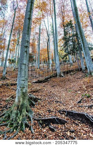 Autumn colorful forest. Natural seasonal scenery. Beautiful tall trees. Vertical composition. Vibrant colors.