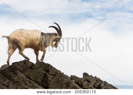 Male feral mountain goat walking on rocks above sea. Long-haired billy goat at Brean Down in Somerset part of a wild herd