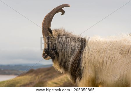 Male feral mountain goat with large horns in profile. Long-haired billy goat at Brean Down in Somerset part of a wild herd poster