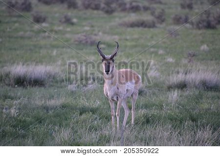 a pronghorn wandering the countryside at sunset