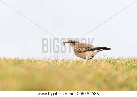 Wheatear (Oenanthe oenanthe) female with wasp in beak. Summer visitor to Britain in the family Turdidae feeding on Somerset Coast before flying south for winter
