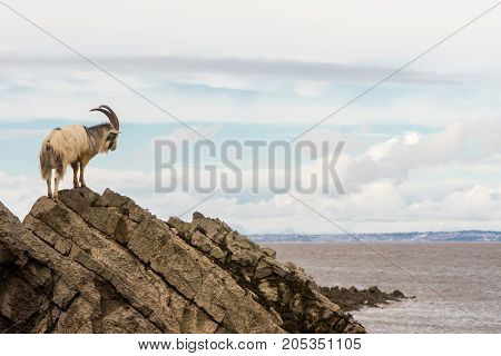 Male feral mountain goat on rocks above sea. Long-haired billy goat at Brean Down in Somerset part of a wild herd