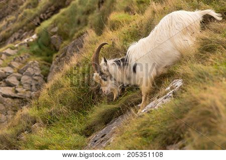 Feral mountain goat descending steep rock face. Agile long-haired goat at Brean Down in Somerset part of a wild herd