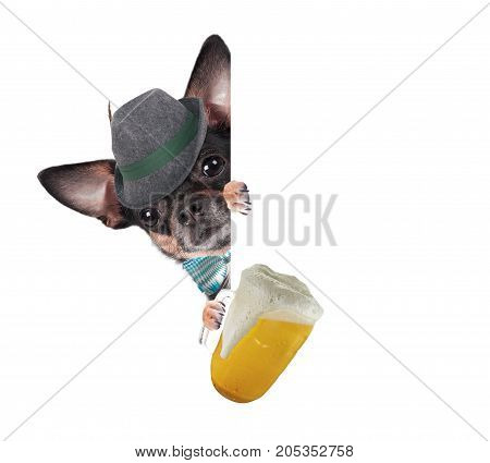Cute chihuahua dog drink beer for octoberfest