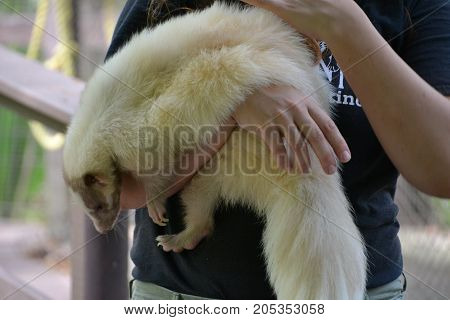 cinnamon or lavender skunk is not albino but does have a genetic mutation