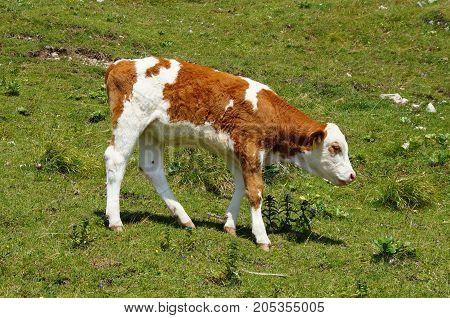 Young calf grazing at a green grass field