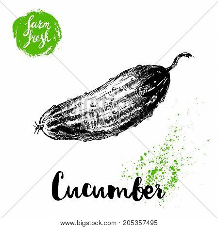 hand drawn sketch style whole cucumber. Vector fresh farm vegetables poster. Retro illustration.