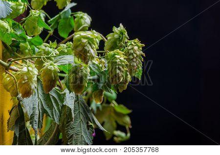 Hop plant close up growing on a farm.