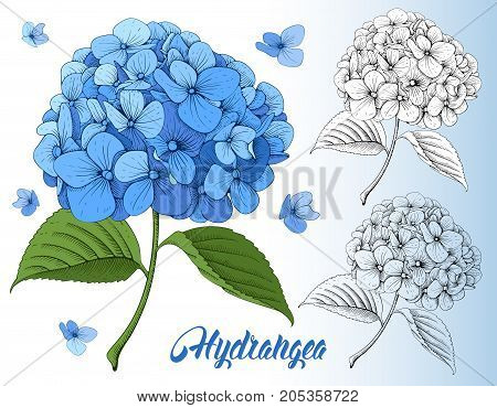 Detailed hand drawn flowers set - blooming hydrangea. Isolated on white background. Vector.