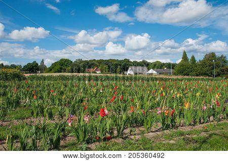 flower field in village of Langebaek Denmark