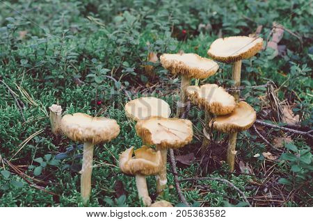 Mushrooms growing among foliage and grass in woods. Vintage nature