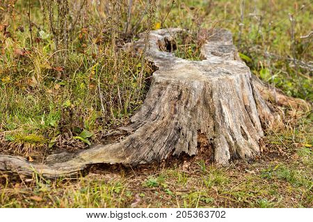 nature, botany, weed concept. old tree stump with long roots is surrounded grass and dried wild plants and flowers, fallen leaves stucked there in straws