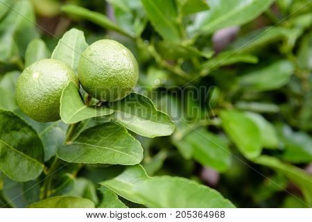 Two green lemons are the agricultural produce on its tree in a planted garden with green foliage as a background