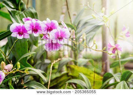 Beautiful pink and white flower bouquet with sunlight of dendrobium orchids hybrids on the tree in the orchid plantation area in Thailand